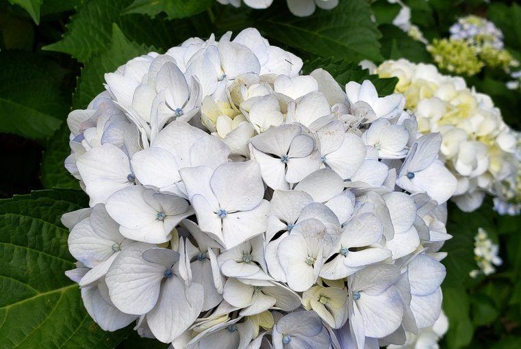 紫陽花✿✿
